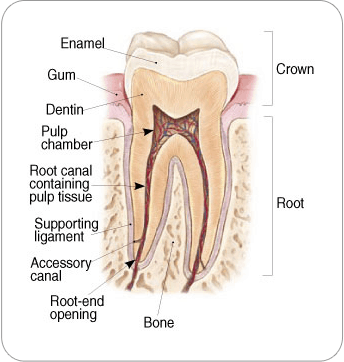 Who performs endodontic treatment?